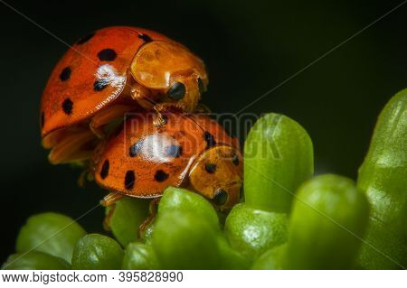 Orange And Black Color Ladybugs Mating On The Flower Bud