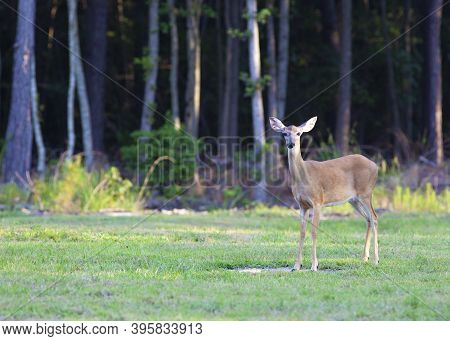 One Whitetail Doe Near A Forest Outside Raeford North Carolina
