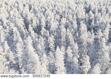 Aerial View Of A Winter Snow Covered Pine Forest. Winter Forest Texture. Aerial View. Aerial Drone V