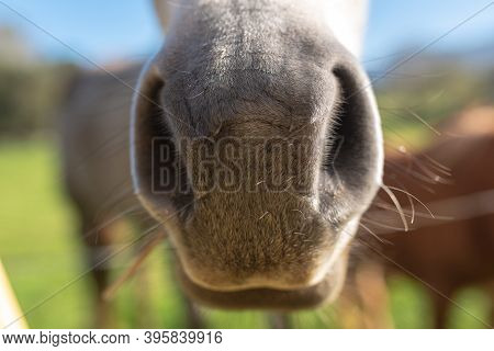 Detail Of The Snout Of A Nice White Horse. Pets Concept. Selective Focus.