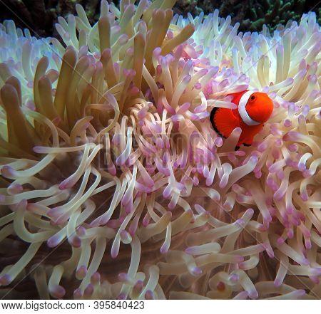 A Shy False Clown Anemonefish In Anemone Cebu Philippines
