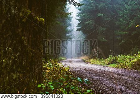 Path Through A Pine Forest On Misty Autumn Day. Forest Background.