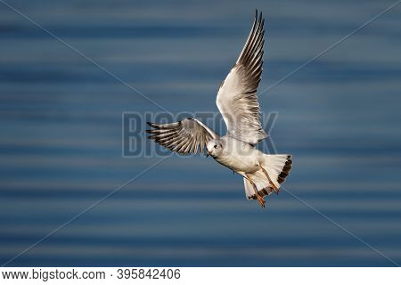 Black-headed Gull (chroicocephalus Ridibundus) Is A Small Gull, Breeds In Much Of The Palearctic Inc
