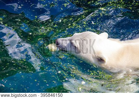 Side View Of A Young Polar Bear Swimming, Scientific Name Ursus Maritimus