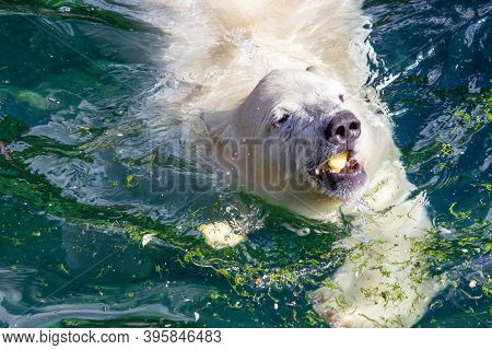 Front View Of A Young Polar Bear With An Apple In Its Mouth, Scientific Name Ursus Maritimus