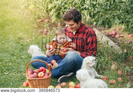 Happy Father With Baby Boy On Farm Picking Apples In Wicker Basket. Gathering Of Autumn Fall Harvest