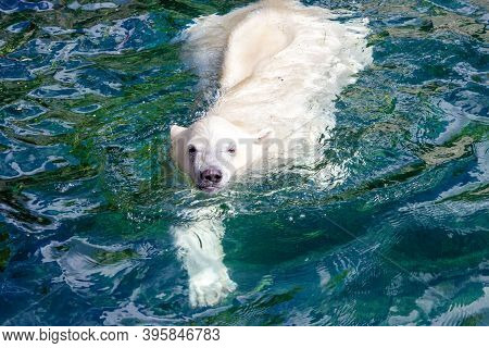 View Of A Young Polar Bear While Swimming, Scientific Name Ursus Maritimus