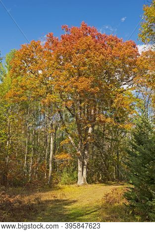 Massive Oak In Fall Colors In Governor Thompson State Park In  Wisconsin