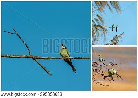 Collage Of Bee-eater Birds Perched On Tree Branches