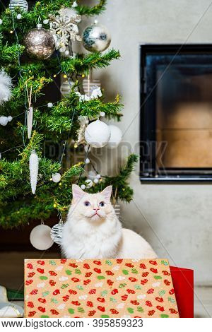 Ragdoll Cat Sitting In Red Christmas Box Under The Christmas Tree