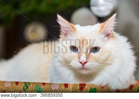 Ragdoll Tomcat Lying On The Christmas Gift Box With Christmas Tree And Decoration In Background