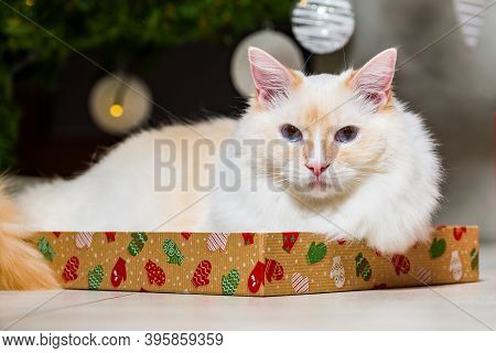 Young Ragdoll Cat Lying On The Cover Of The Gift Under The Christmas Tree