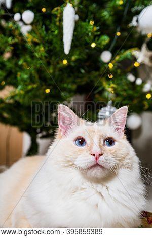 Portrait Of Light Ginger White Ragdoll Tomcat By The Christmas Tree