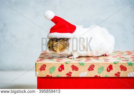Guinea Pig With Red Santa Claus Hat On The Christmas Gift On Light Grey Background