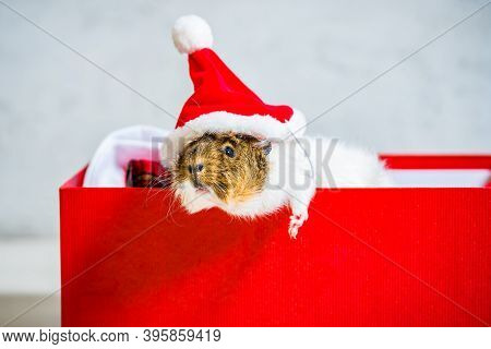 Lazy Guinea Pig With Red Santa Claus Hat Lying In The Open Red Gift Box On Grey Background With Paw