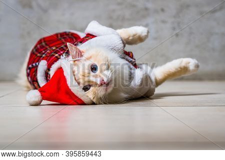 Fluffy Ragdoll Cat With Blue Eyes In Santas Hat And Housecoat Lying On The Floor