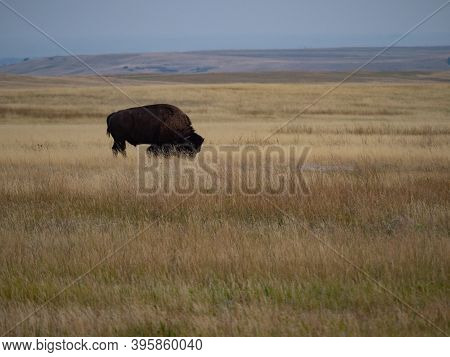 American Bison Grazing In Grassy Prairie In Badlands National Park In South Dakota. Image Has Copy S