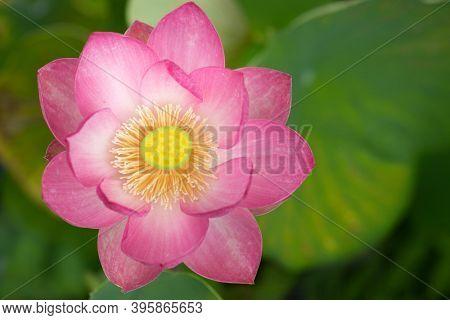 Sacred lotus Nelumbo Nucifera closeup
