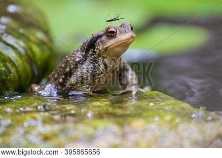 Common male toad, Bufo bufo, standing on a stone with a couple of bug Hydrometra mating on his head.