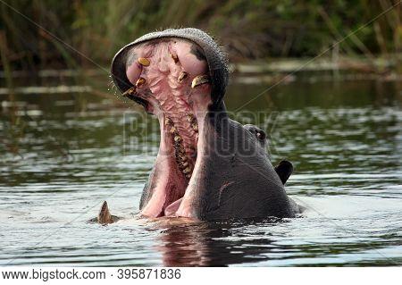 The Common Hippopotamus (hippopotamus Amphibius), Or Hippo Aggressive With Its Mouth Open. Big Hippo