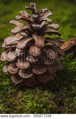Still Life. Coniferous Tree Cones Lie On Green Moss- Abstract Background