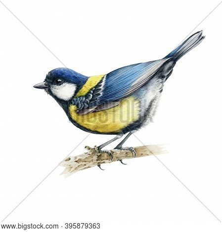 Funny Little Tit Bird Watercolor Illustration. Hand Drawn Realistic Europe Song Bird. Great Tit Comm