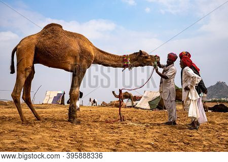 November 2019 Pushkar,rajasthan Camel Traders Checking The Teeth In Livestock Camel In Sand Dunes Of