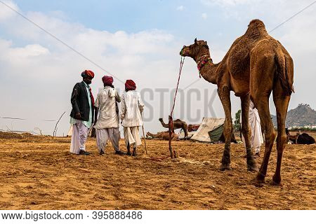November 2019 Pushkar,rajasthan Camel Traders In Livesock Camels In Sand Dunes Of Thar Desert With S