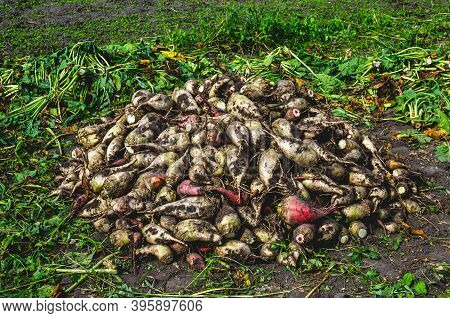 Harvesting Fodder Beets For Animal Feeding. Fodder Beet Crop. Crop Of Fodder Beet Collected By Peopl
