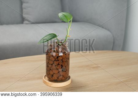 Scindapsus Treubii Moonlight In Glass Bottle On Wooden Table In Living Room. Houseplant. Air Purifyi