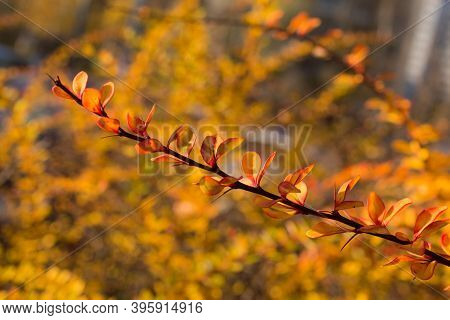 Autumn Branch Of Barberry Closeup In The Foreground