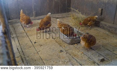 Chicken In The Chicken Coop, Chicken On The Farm. Brown Chickens. Chickens In The Hen House In Winte