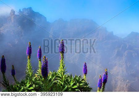 Pico Do Arieiro To Pico Ruivo Trek Mysty Landscape With Echium Candicans Flowers In Madeira Island,