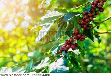 Red Coffee Beans On Arabica Coffee Trees
