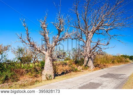 Baobab Trees Or Adansonia Without Foliage In Mandu Ancient City In Madhya Pradesh State Of India