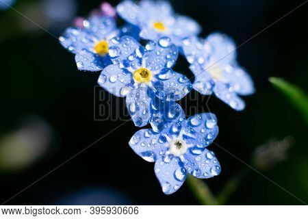 Tiny Wet Forget-me-not Flowers On Dark Background With Bokeh Effect. Floral Backdrop