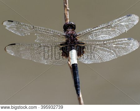 A Pied Skimmer Dragonfly, Pseudothemis Zonata, Perches On A Dry Twig Near A Small Pond In A Park In