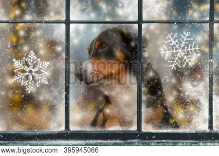 Dog Is Looking Through The Window. The Snow Falls Outside. The Winter Came. Christmas Dog