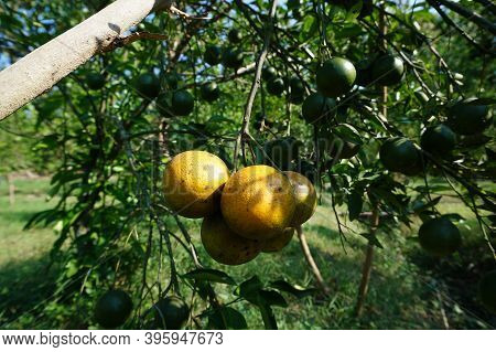 Mature Orange Fruit Depends On The Branches Of The Orange Tree, Ripe Fruit With A Fresh Greenish Yel