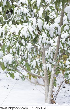 Apple Branches With Green Leaves In Late Autumn Or Early Spring Under The Snow. Climate Change
