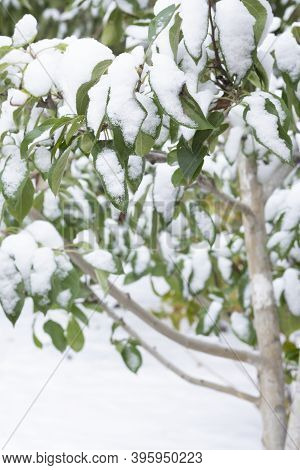 Apple Branches With Green Leaves In Late Autumn Or Early Spring Under The Snow.