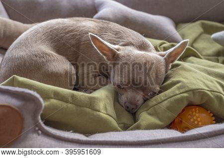 Little Brown Chihuahua Dog Lies Upset By Loneliness