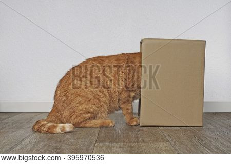 Funny Ginger Cat Stuck His Head Inside A Cardboard Box. Side View With Copy Space.