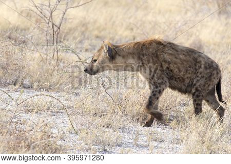 A Spotted  Hyena Hunting In The Savannah