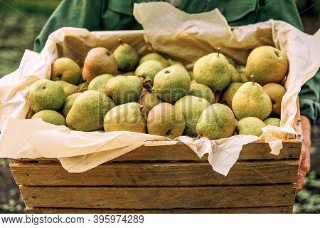 Fresh Pears In Men's Hands. Juicy Fragrant Pears In A Wooden Box. Health Food. Harvest Of Pears.
