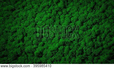 Green Moss Texture Background. Natural, Bright, Beautiful, Preserved Reindeer Moss. Nature Forest Wa