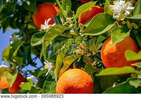 Ripe Harvest And Orange Blossom, Citrus Trees In Israel. White Flowers And Green Leaves