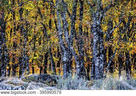 Oak Grove Background In Autumn Season. Garganta De Los Infiernos Natural Reserve, Caceres, Extremadu