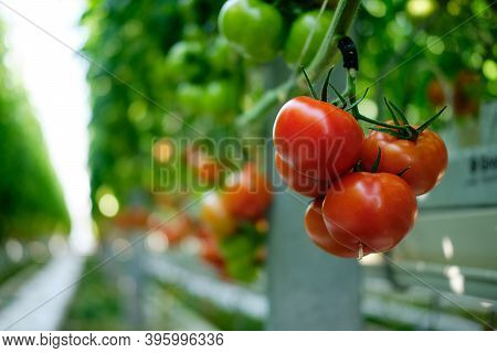 Fresh Ripe Red Tomatoes Grown In A Greenhouse