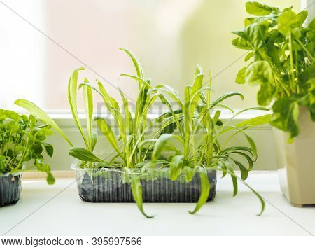 Home Gardening. Seedlings Of Basil And Rocket In Flower Pot On Windowsill. Room Plants. Reuse Of Pla